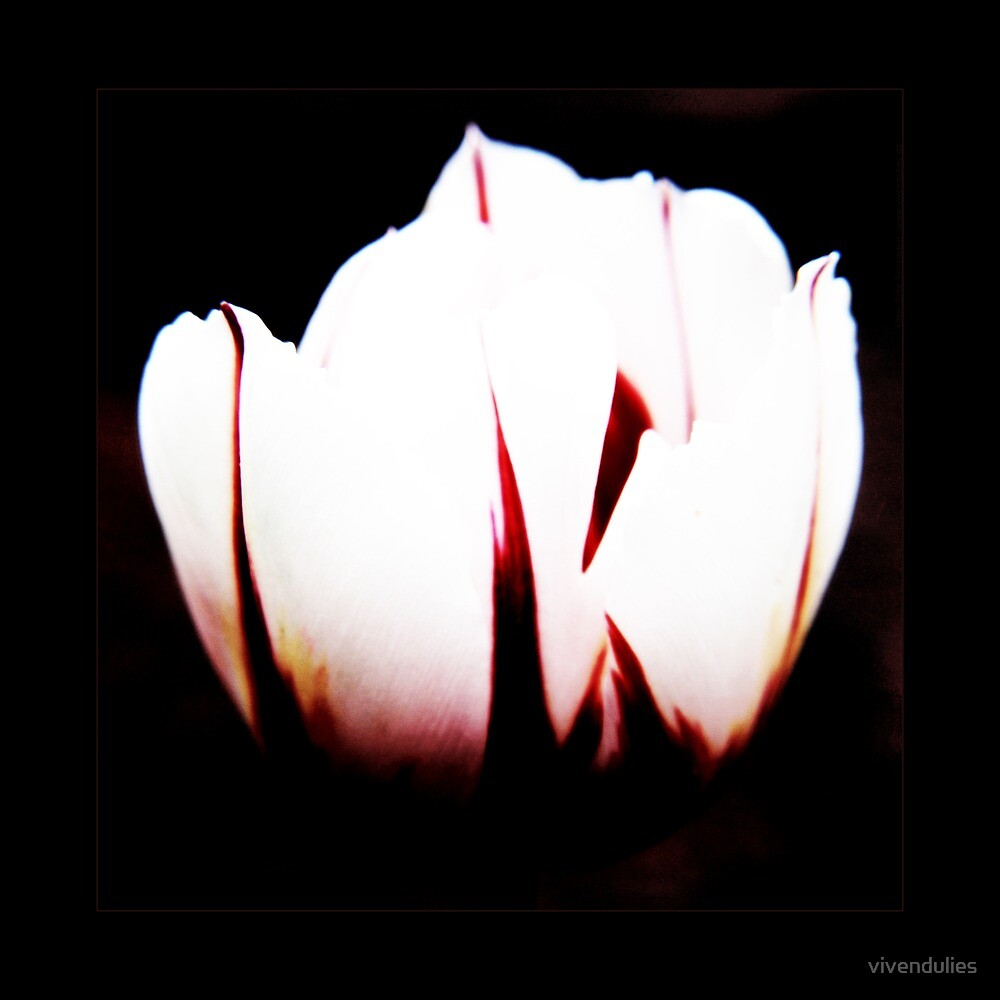 White Tulip by vivendulies