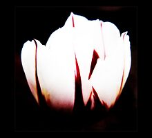 White Tulip VRS2 by vivendulies