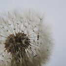 Blowing on Dandelion Seed  VRS2 by vivendulies