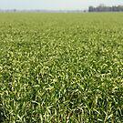 Riverina Wheat by Timothy John Keegan