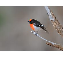 Red capped Robin  Flinders Ranges SA  Photographic Print