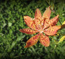Wild Flower of Kundasang by mubadalashan