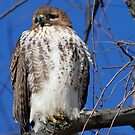 Red Tail Hawk by Dennis Cheeseman