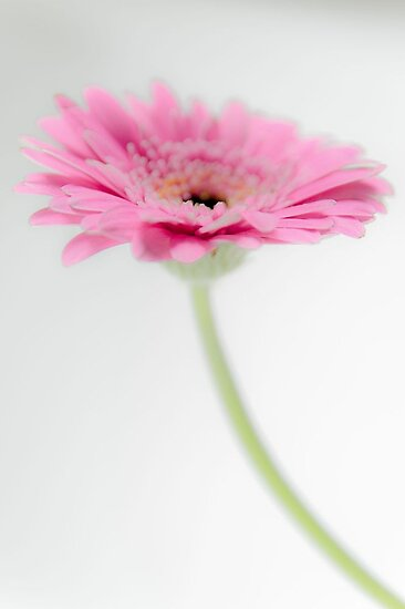 Gerbera by JEZ22