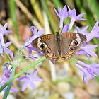 The Buckeye Butterfly by Dawne Dunton