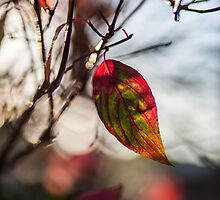 Autumn Leaf In The Sun by MorganaPhoto