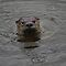 Sam the Otter in the Rain by fototaker