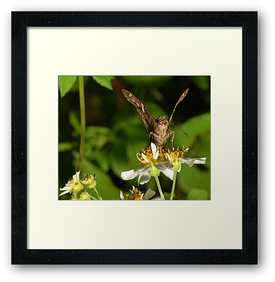 Dorantes Longtail Butterfly by Michael L Dye