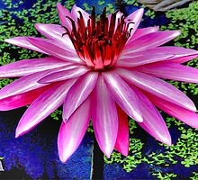 Splendid Water Lily by missmoneypenny