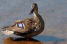 Mallard and Shadow by Gene Walls