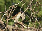 Brown Thrasher in Brush Pile by Deb Fedeler