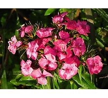 Pink Dianthus Flower Cluster Photographic Print