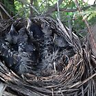 Three Feathered Siblings in Their Nest by Deb Fedeler