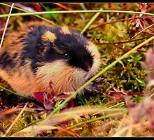 Nordic Lemming by Daniel Gudmundsson