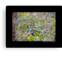 Cyanocitta Cristata - North American Blue Jays Canvas Print