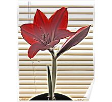 Picture Perfect Amaryllis Poster
