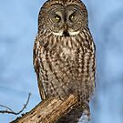 Great Gray Owl in Afternoon Light by Bill McMullen