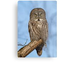 Great Gray Owl in Afternoon Light Metal Print