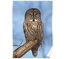 Great Gray Owl in Afternoon Light Poster