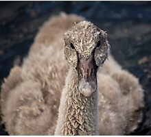 Isolated Black Swan Cygnet Photographic Print