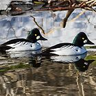 Common Goldeneye Drakes: Open Water by John Williams