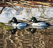 Common Goldeneye Drakes: Pool in the Ice by John Williams