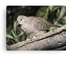 Inca Dove Canvas Print