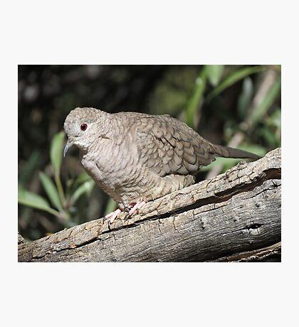Inca Dove Photographic Print