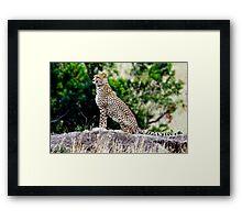 Cheeta in Masai Mara Framed Print