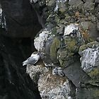 Kittiwakes nesting on rockface in Iceland by Grace Johnson