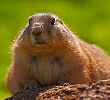 Little fluffy prairie dog by Konstantinos Arvanitopoulos