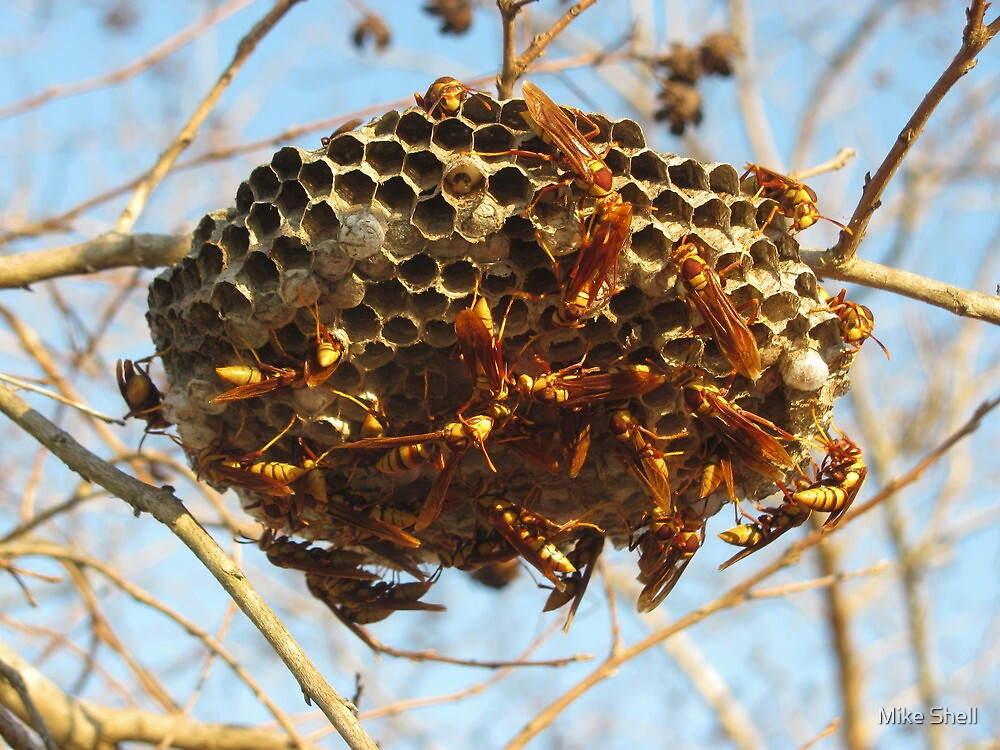 Yellowjacket nest with larvae by Mike Shell