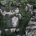 Kittiwakes nestle on Icelandic rockface by Grace Johnson