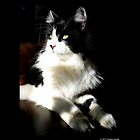 Felis Catus - Male Tuxedo Maine Coon Cat On The Kitchen Table by  Sophie Smith