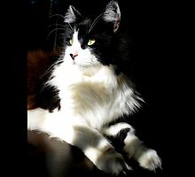 Felis Catus - Male Tuxedo Maine Coon Cat On The Kitchen Table by © Sophie W. Smith