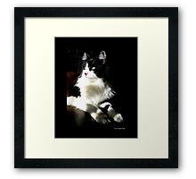 Felis Catus - Male Tuxedo Maine Coon Cat On The Kitchen Table Framed Print