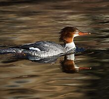Common Merganser female: Riding the Current by John Williams