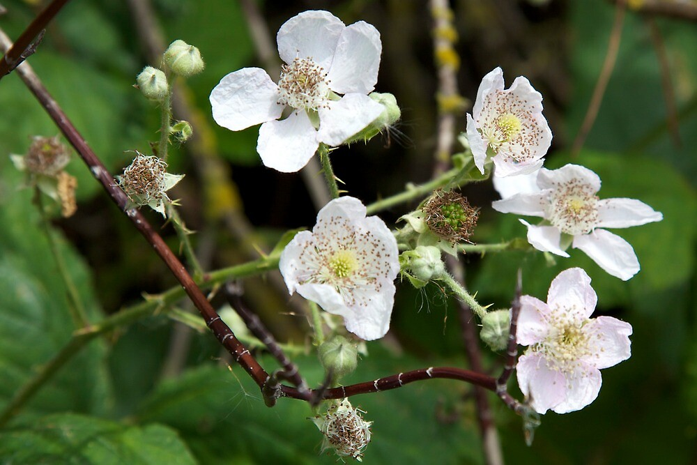 blackberry blooms by thvisions