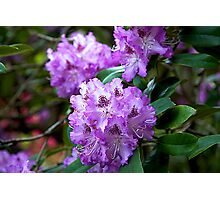 rhododendron flower Photographic Print