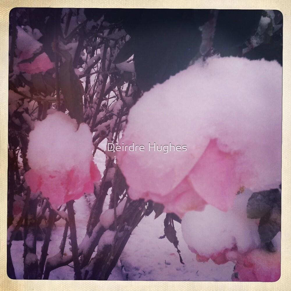 Snowy Roses by Deirdre Hughes