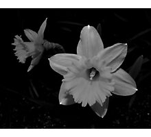 Daffodils In Black And White Photographic Print