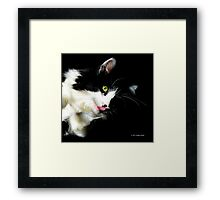 Felis Catus - Male Tuxedo Maine Coon Cat  Framed Print