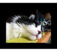 Felis Catus - Male Tuxedo Maine Coon Cat Watching Birds Photographic Print