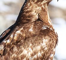 Red-tailed Hawk: Hunting by John Williams