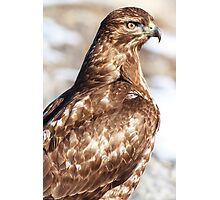 Red-tailed Hawk: Hunting Photographic Print