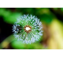 Lion's Seed Head Photographic Print