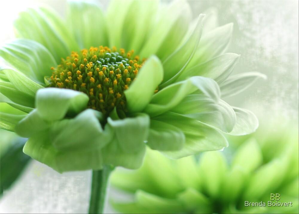 ~ Peppermint Daisy ~ by Brenda Boisvert