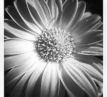 Gerber daisy by monmyles