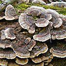 Turkey Tail Brackegt Fungi -  Trametes versicolor by MotherNature2