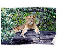 The Lion Cub Poster